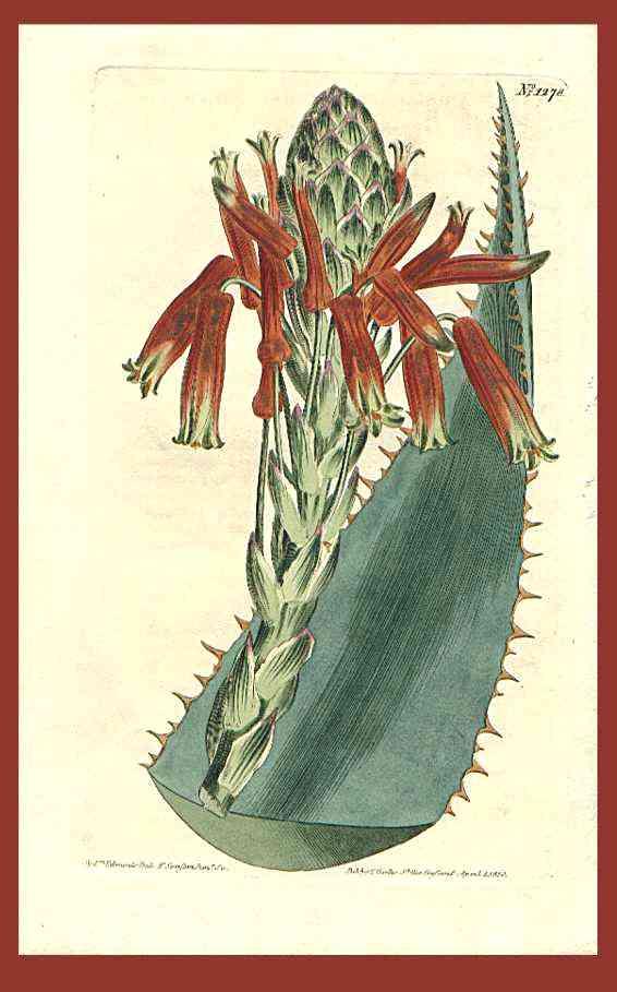 Aloe rhodacantha
