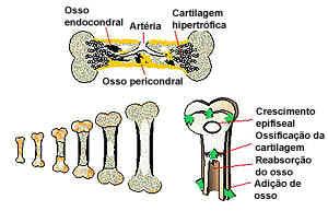 Crescimento de osso longo